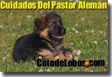 Cuidados de cachorros de pastor aleman america 39 s best lifechangers - Cuando se puede banar a un cachorro ...