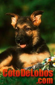 Cachorro pastor aleman del coto de lobos