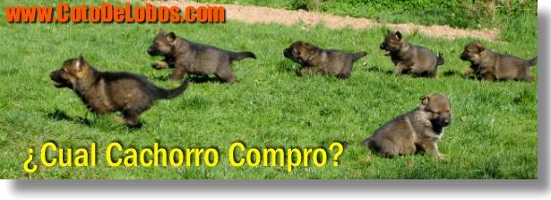 venta de cachorros pastor alemán