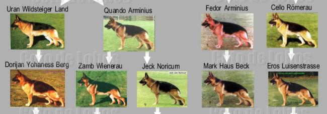 lineas de pastor alemán