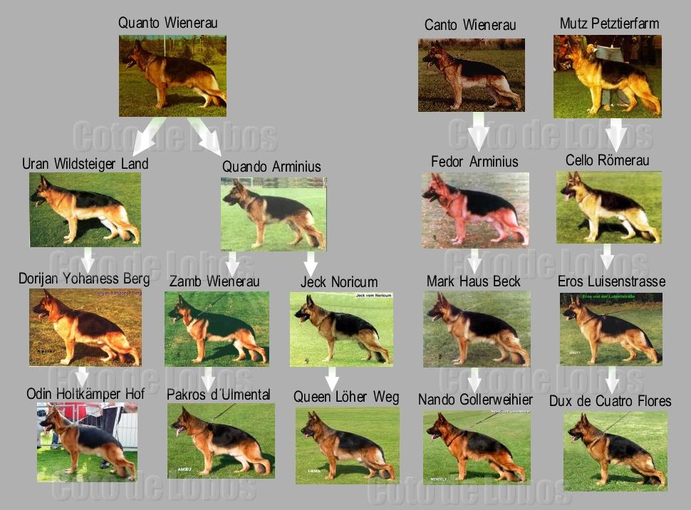 cria en linea en el perro pastor alemán